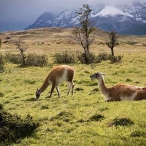 View of guanacos grazing on a grass meadow in national park Torres del Paine in Patagonia