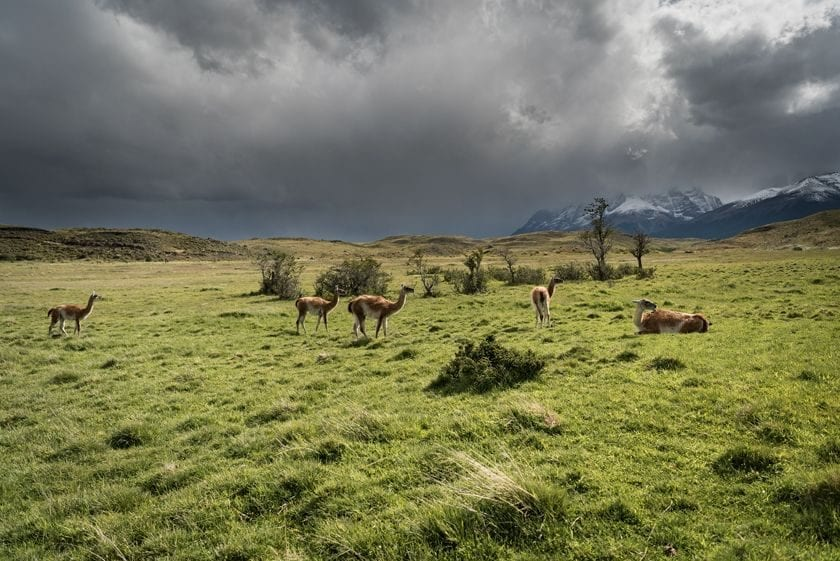 A herd of gaunaco grazing on the plains in Torres del Paine national park.