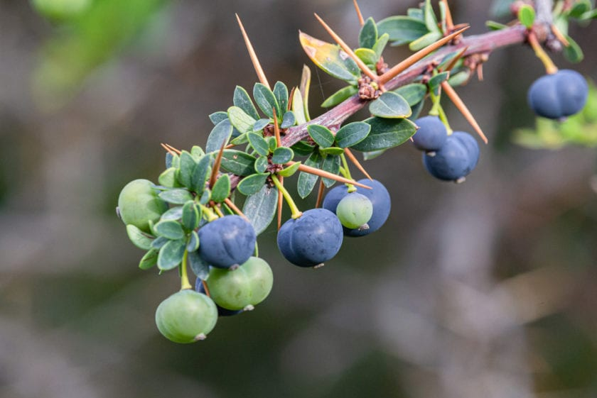 calafate berries are added to a lot of food in Patagonia