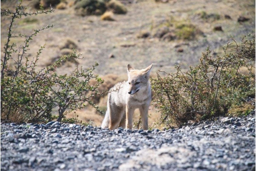 grey fox for animals in torres del paine